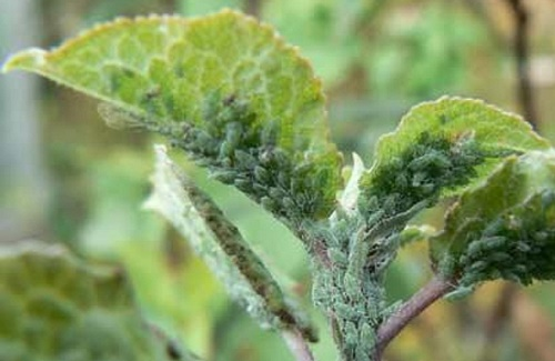 How to get rid of aphids in the garden