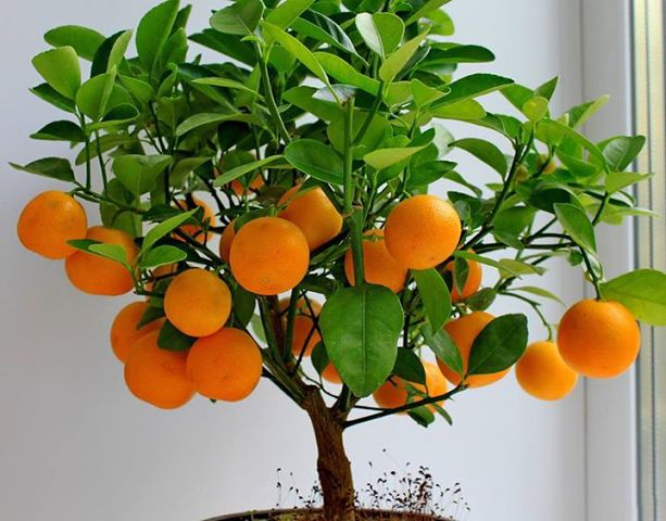 Как вырастить мандариновое дерево дома