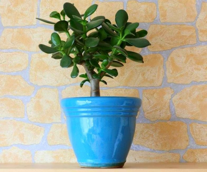 Как ухаживать за денежным деревом в домашних условиях