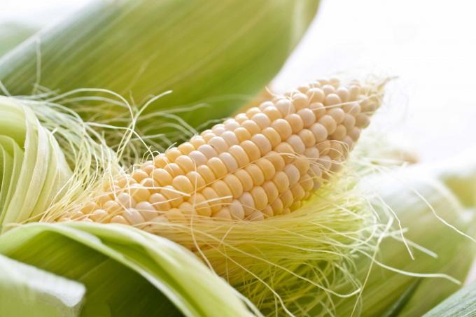 Даже в суровом климате кукурузу можно довести до молочной спелости