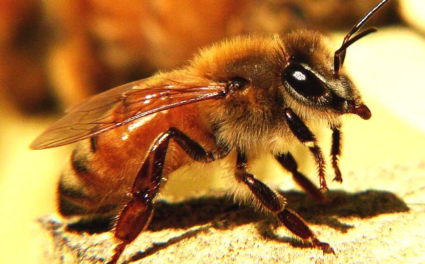 First aid for bee sting
