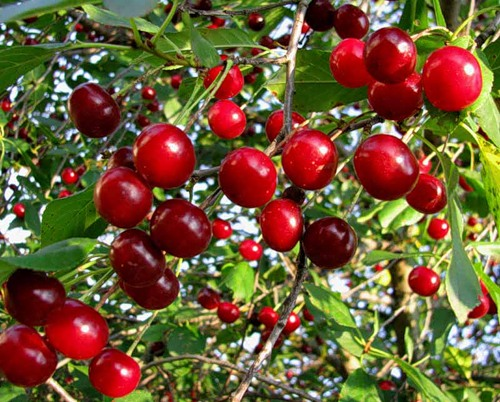Почему сохнет вишня