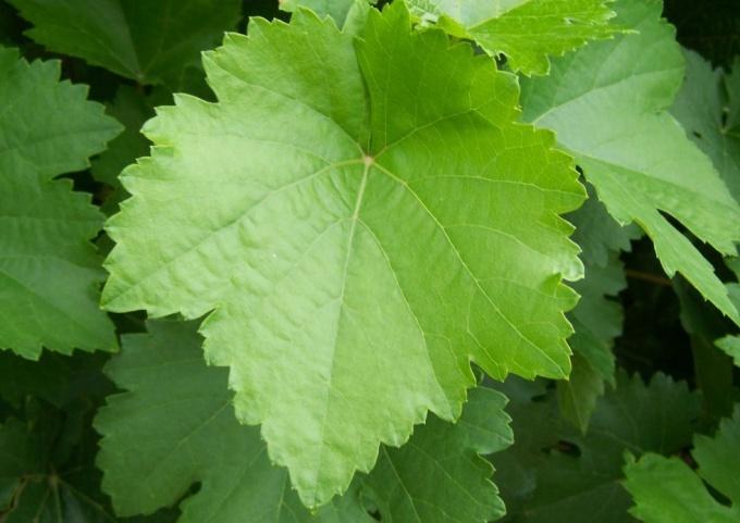 Как просто заготовить виноградные листья
