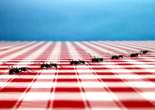 How to pull ants out of the apartment