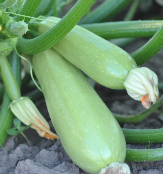How to achieve a zucchini without the barren flowers