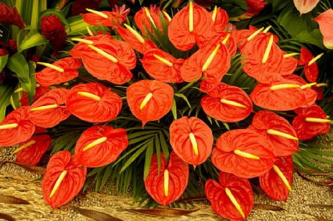 Антуриум - сложный в уходе, но великолепный цветок