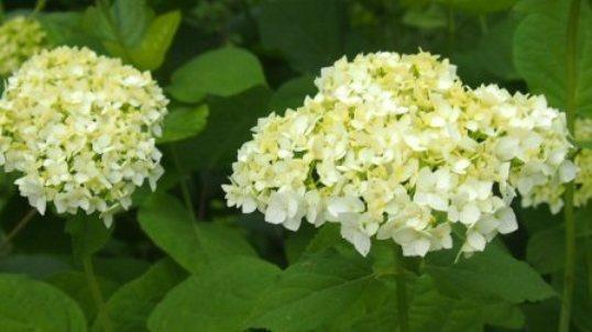 -cvetuschaya-gortenziyu- koroleva - vashego - sada-