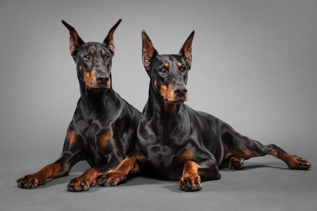 History of the Dobermann breed