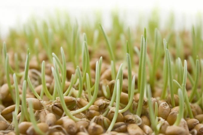 как прорастить семена брокколи для еды