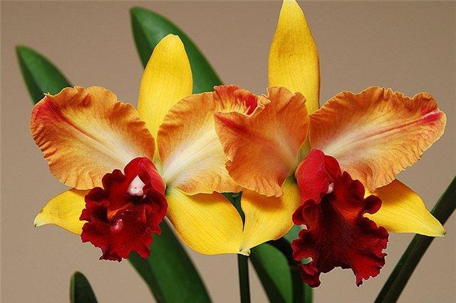 Какой сорт орхидеи выбрать для дома