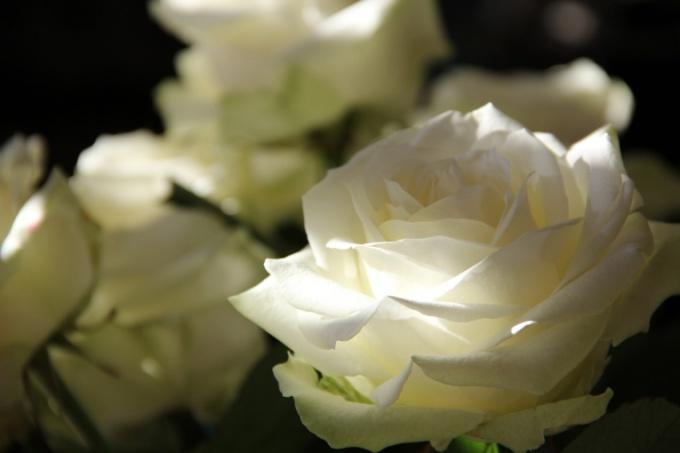 Сохранить розы в воде дольше - просто