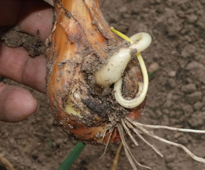 rotten onions in the garden