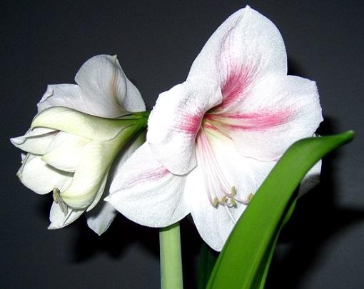 Соцветия амариллиса
