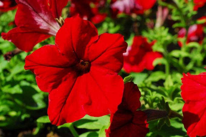 Когда и как сажать петунию на рассаду в домашних условиях