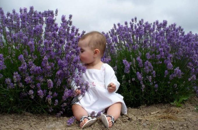 Как стратифицировать семена лаванды