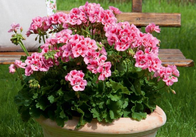 Пеларгония из семян: выращивание рассады