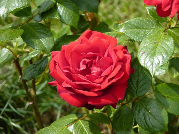 чем удобрять розы в зиму