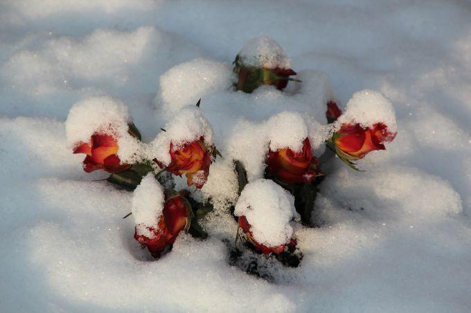 Как укрыть плетистые розы на зиму в средней полосе