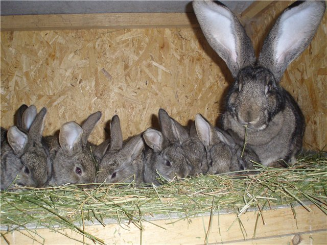 Почему крольчихи съедают своих крольчат