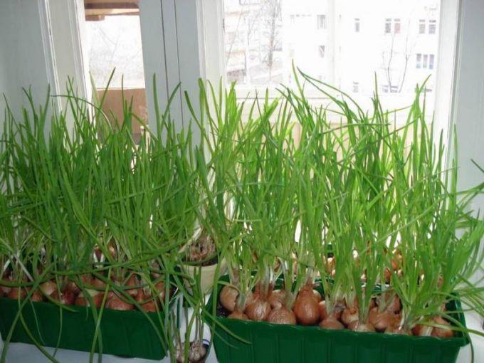 Выращивание лука в опилках зимой