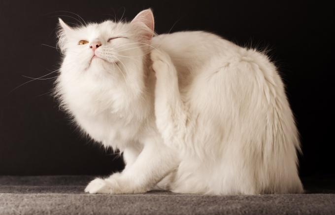 Какими способами выводят блох у кошек