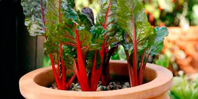 Мангольд: выращиваем на подоконнике
