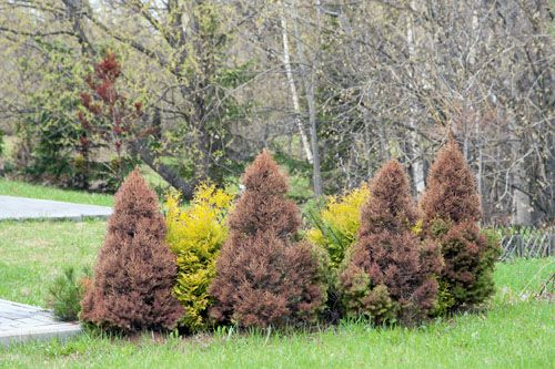 A yellowing conifer is a frequent pattern in the spring