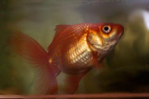 Золота рыбка