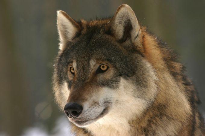 волк во сне - не обязательно дурное предзнаменование