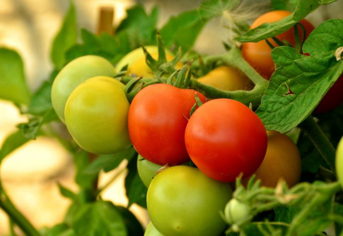 How often to water tomatoes