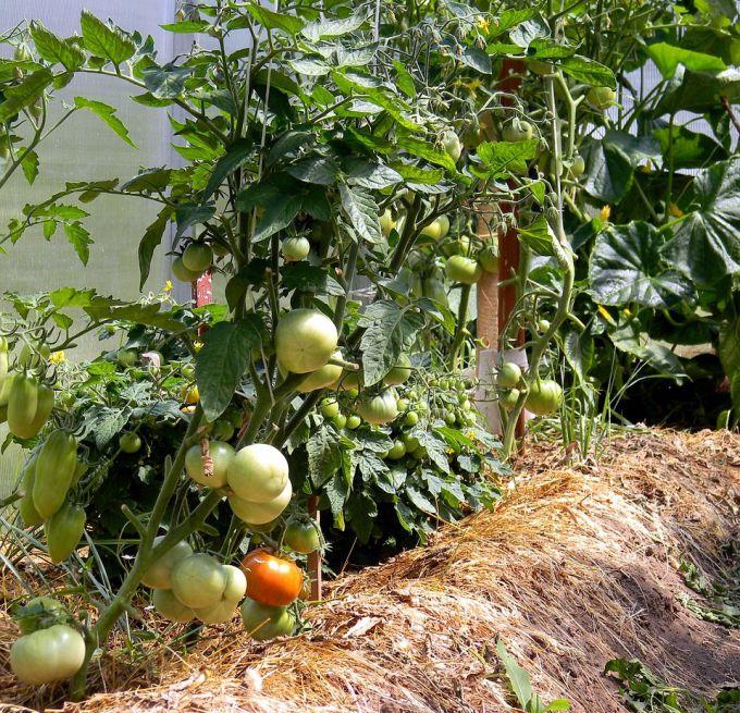 На каком расстоянии сажать помидоры, перцы и огурцы в теплице