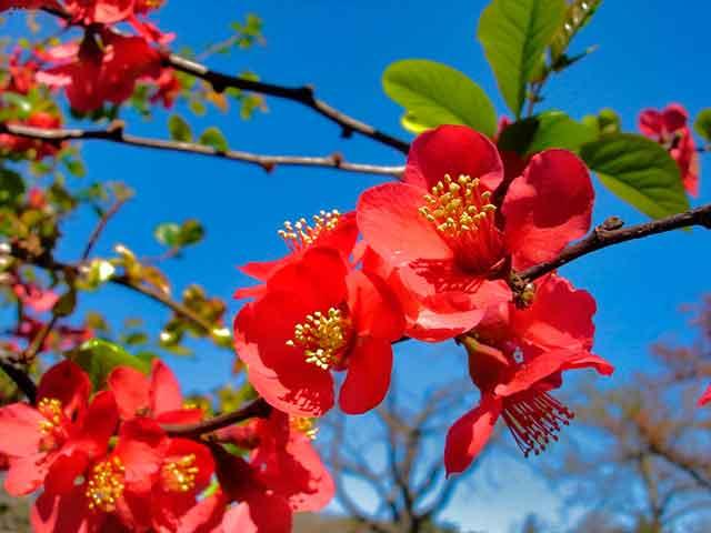 Айва японская в саду: посадка, уход