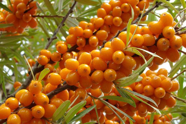 What are the benefits of sea buckthorn