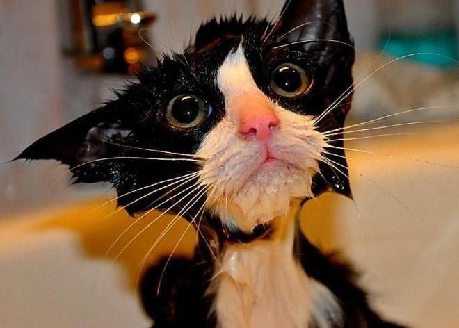 Как правильно помыть кота без когтей