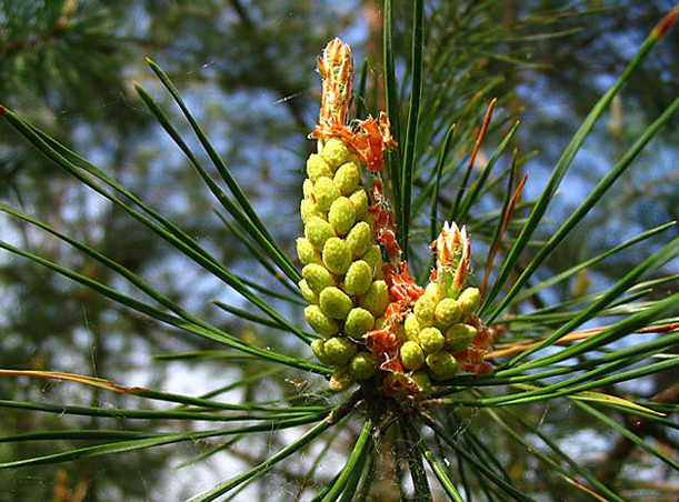 Collection of pine and birch buds