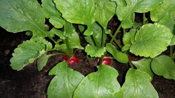 Когда и как сажать редис в открытый грунт