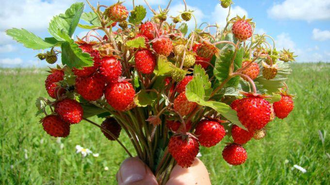 Садовая земляника: покупка, посадка и уход