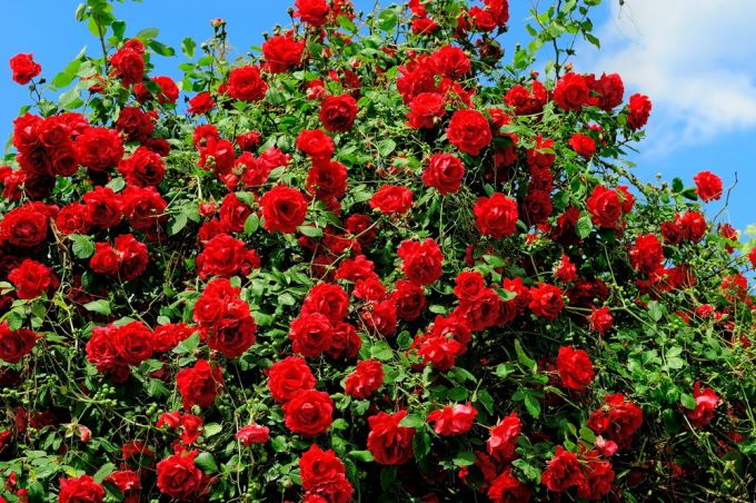 Important tips for care of roses