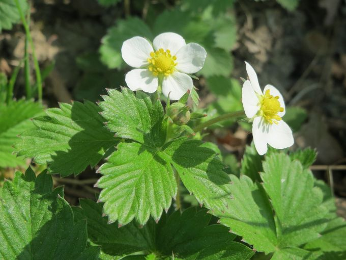 What to feed strawberries in the spring