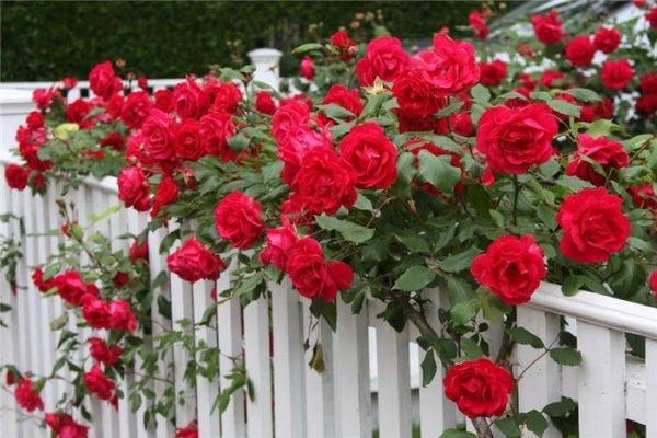 Плетистая роза - уход