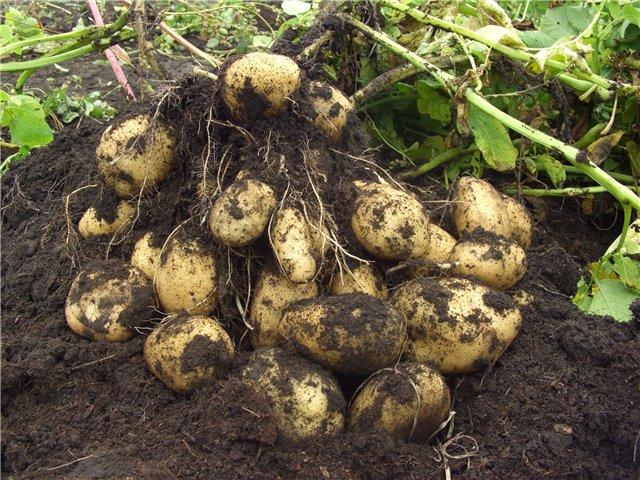 Какую картошку лучше всего сажать 578