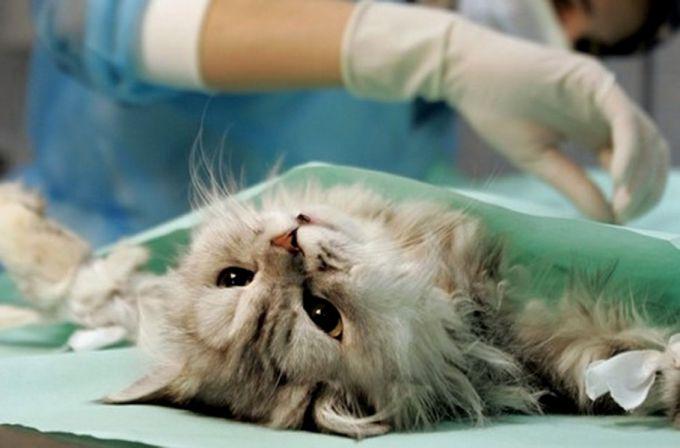 Стоит ли стерилизовать кошку?