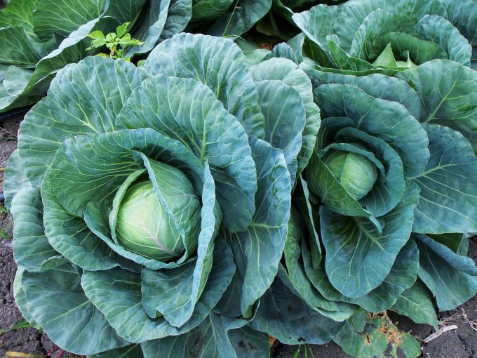 How to handle cabbages from caterpillars folk remedies