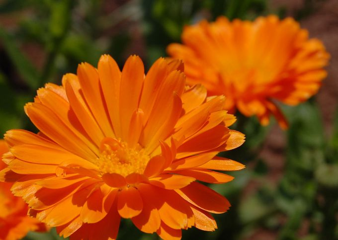 Calendula is a godsend for daily skin care