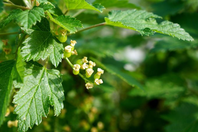 Why the leaves of currant appeared red spots
