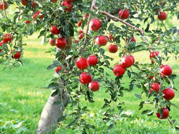 Как привить яблоню черенком?