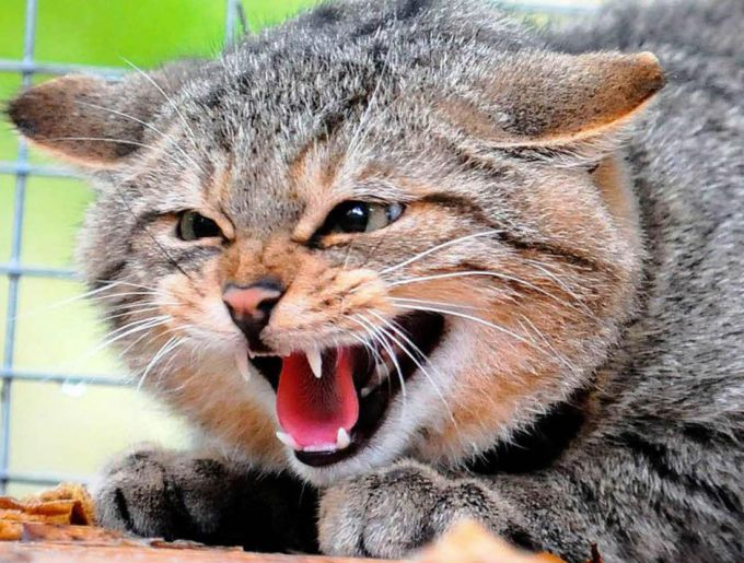 The furious animal