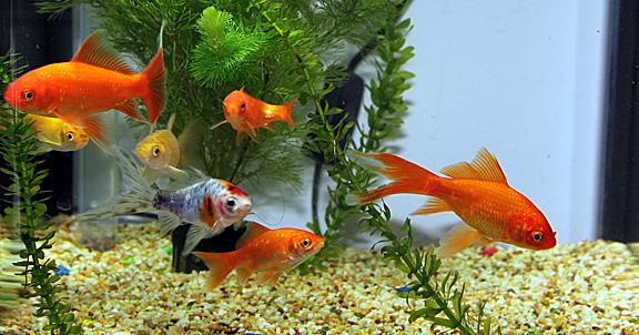 Прекрасные обитатели аквариума