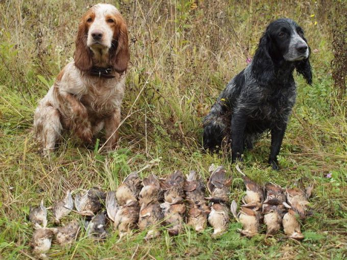 Выбираем охотничью собаку
