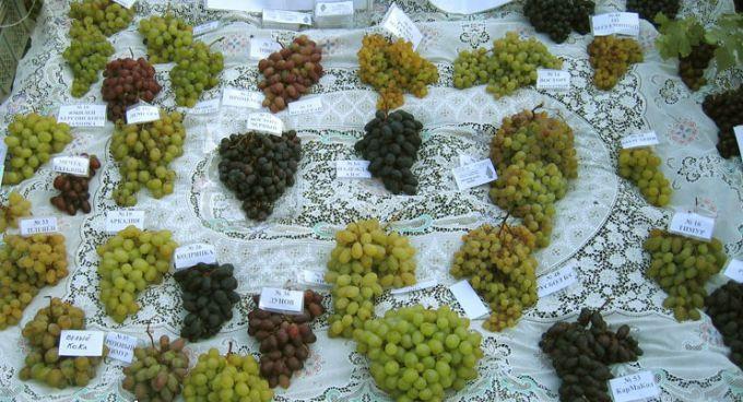 Разновидности винограда для огорода